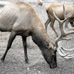 """Elk RMNP 03"" by Cynthia_Burkhardt"