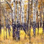 """Golden Aspen"" by Cynthia_Burkhardt"