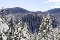 Fir Trees in Snow - 1137