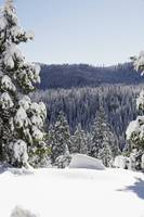 fir trees in snow - 1151