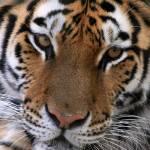 """Bengal Tiger"" by ktpupp"