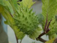 thorn_apple