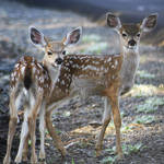 """Black Tail Deer Fawns - 1730"" by BartElder"