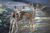 Black Tail Deer Fawns - 1730