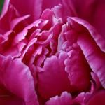 """Deep Pink Peony"" by Dreambarks"