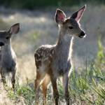 """Two Black Tail Deer Fawns - 1838"" by BartElder"