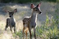 Two Black Tail Deer Fawns - 1838