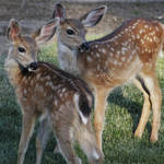 """Deer Fawns - 1874"" by BartElder"