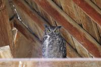 Great Horned Owl - 2833