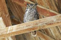 Great Horned Owl - 2869