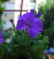 Violet Summer Morning