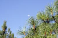Moon over pine needles - 2299