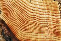 Tree Growth Rings - 9536