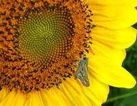 Little Moth on BIG Sunflower