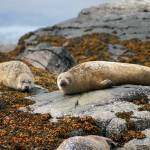 """""""The Lazy Seal"""" by Simongrenfell"""