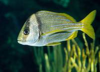 Atlantic Porkfish Tropical Fish