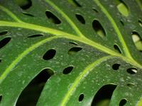 Holey Leaf
