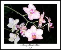 Orchid 003