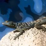 """Arizona Desert Lizard"" by kphotos"