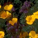 """California Poppies in Arizona"" by kphotos"