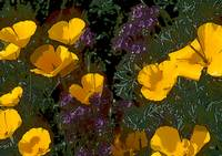 California Poppies in Arizona