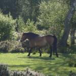 """""Galloping Exmoor Pony "" by Sharon Shirley"" by Sharona5"