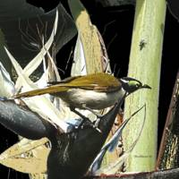 bird-honeyeater-5