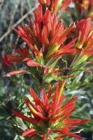Indian PaintBrush - 0891