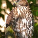 """Coopers Hawk"" by MindsEyeImagery"