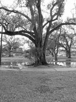 Old Oak in City Park