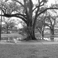 Old Oak in City Park Art Prints & Posters by James Veillon