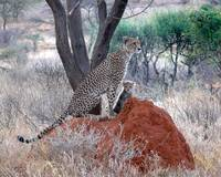Cheetah's of Samburu