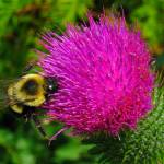 """Bee on Bull Thistle"" by bavosiphotoart"