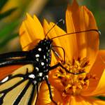 """Monarch Closeup Sipping From A Cosmos 08"" by flowerswithfeelings"