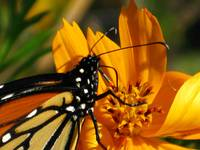 Monarch Closeup Sipping From A Cosmos 08