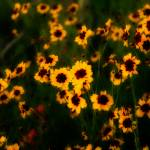 """Plains Coreopsis"" by kronoskid"