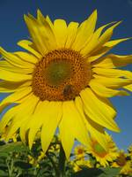 sunflower_and_bee
