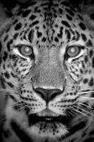 Leopard_face_BW