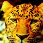 """""""Amur Leopard"""" by Lesley4444"""