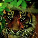 """Chandra the Sumatran Tiger"" by Lesley4444"
