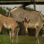"""Florence the Grevy Zebra Foal and Mum Emily"" by Lesley4444"