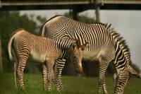 Florence the Grevy Zebra Foal and Mum Emily