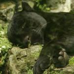 """Mowgli the Jaguar"" by Lesley4444"