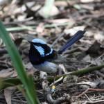 """""""Australian Blue Wren"""" by teganl"""