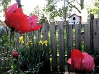 southside garden poppies