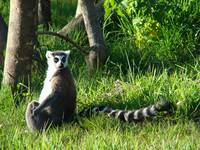 Sunbathing Ringtail Lemur