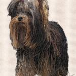 """Yorkshire Terrier"" by diane"