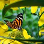 """""""Butterfly Art"""" by Cohen"""