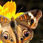"""Buckeye Butterfly On Cosmos 08"" by flowerswithfeelings"