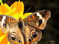 Buckeye Butterfly On Cosmos 08